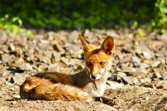 Lying Red Fox Stock Photo