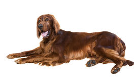 Lying Red Irish Setter Stock Images