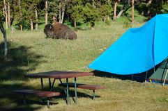 Lying resting buffalo (bison) in campground Stock Image