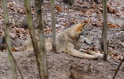 Lying resting European wolf Canis lupus. Stock Photos