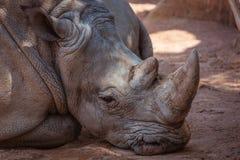 Lying rhino. Rhino lying on the sand stock image