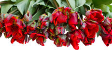 Lying in row  red parrot tulips Stock Photos