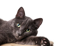 Lying russian blue cat Stock Photo