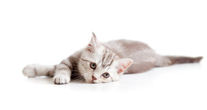 Lying sad brittish tabby kitten Stock Images