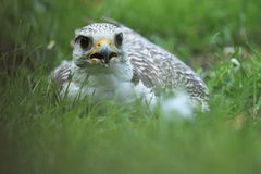 Lying saker falcon Royalty Free Stock Photography
