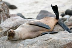 Lying seal in Namibia Royalty Free Stock Photo