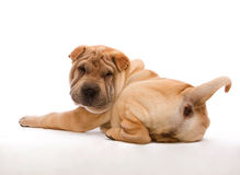 Lying Shar Pei. Shar Pei lying in front of a white background Stock Photography