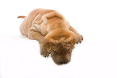 Lying Shar Pei. Shar Pei lying in front of a white background Royalty Free Stock Photos