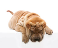 Lying Shar Pei. Shar Pei lying in front of a white background Stock Photo