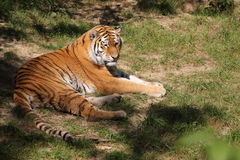 Lying siberian tiger Royalty Free Stock Images
