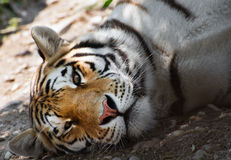 Lying siberian tiger Stock Images
