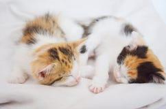 Lying sleeping kitten. Tortoiseshell cat, lying on sheepskin, pink nose and paws Royalty Free Stock Images