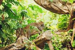 Free Lying (sleeping) Leopard On Tree Branch Royalty Free Stock Photos - 29871928