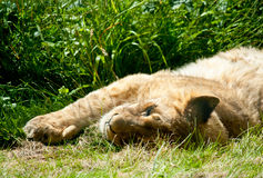 Lying sleeping lion baby Royalty Free Stock Images