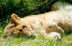 Lying sleeping lion baby Royalty Free Stock Photography