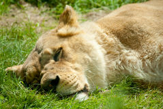 Lying sleeping lion Stock Photo