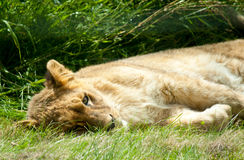 Lying sleeping lion Royalty Free Stock Photography