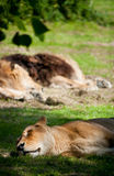Lying sleeping lion Royalty Free Stock Photo