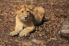 Lying small lion Stock Image