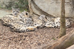 Lying snow leopards Royalty Free Stock Images