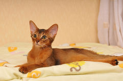 Lying somali kitten portrait. Looking aside Royalty Free Stock Images