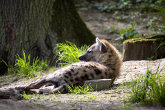 Lying Spotted Hyaena, Crocuta crocuta Stock Images
