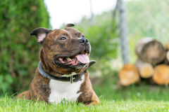 Lying staffordhire bull terrier looking forward on a vertical ph Royalty Free Stock Images