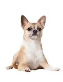 Lying straw-colored doggy Royalty Free Stock Image