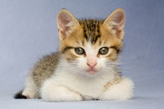 Lying striped kitten, isolated Stock Image