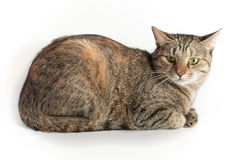 Lying tabby cat over white Royalty Free Stock Photo