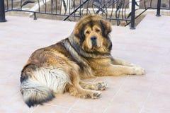 Lying Tibetan Mastiff Royalty Free Stock Photos