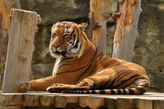 Lying Tiger Royalty Free Stock Image