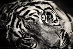 Lying tiger Stock Photos