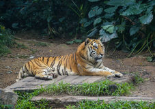 The lying tiger Royalty Free Stock Photos