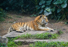 The lying tiger Stock Image