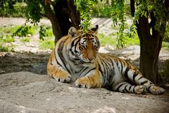 Lying Tiger Royalty Free Stock Images