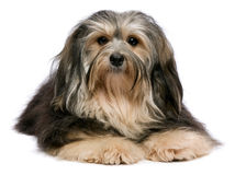 Lying tricolor Havanese Royalty Free Stock Photo