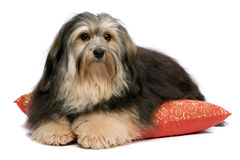 Lying tricolor Havanese Stock Photo