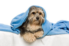 Lying tricolor Havanese in bed Royalty Free Stock Images