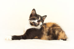 Lying tricolor kitten watching. Beautiful lying tricolor kitten watching on isolated white background Stock Photos
