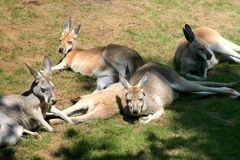 Lying wallabies (kangaroos) Stock Photo