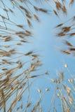 Lying in wheat Stock Photo