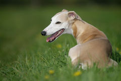 Lying whippet Stock Image