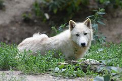 Lying white Arctic Wolf looking forward stock image