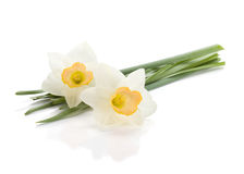 Lying white daffodils Royalty Free Stock Photo