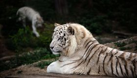 Lying white tiger in Dalian Forest Zoo. Lying relaxed white tiger agains background with another blurred tiger in Dalian Forest Zoo Stock Photo