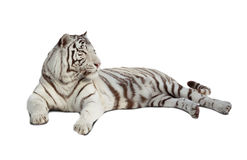 Lying white tiger. Isolated  over white Stock Photography