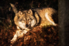 Lying wolf on foliage. Looking at the camera Stock Photo