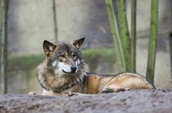 Lying wolf in front of tree trunks Stock Photography