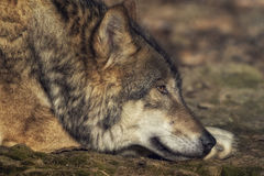 Lying wolf. Head shot of a lying wolf an the ground Royalty Free Stock Image